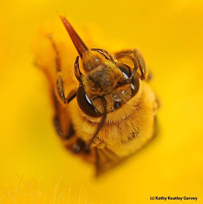 Close-up of tongue of male squash bee. (Photo by Kathy Keatley Garvey)