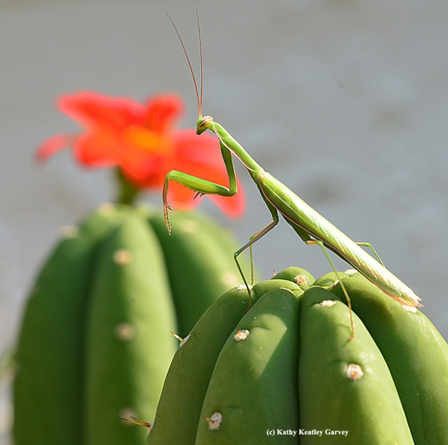 Praying mantis reaches the summit. In the background is a Mexican sunflower, Tithonia. (Photo by Kathy Keatley Garvey)