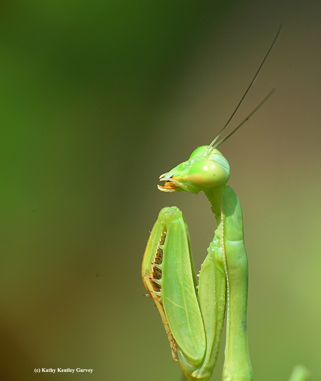 Praying mantis folds his spiked forelegs, as if in prayer. (Photo by Kathy Keatley Garvey)