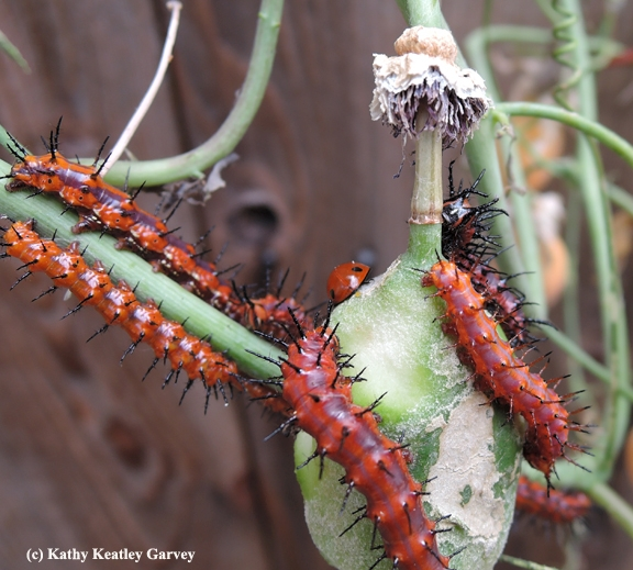 Gulf Fritillary caterpillars move around the lady beetle, aka ladybug. (Photo by Kathy Keatley Garvey)