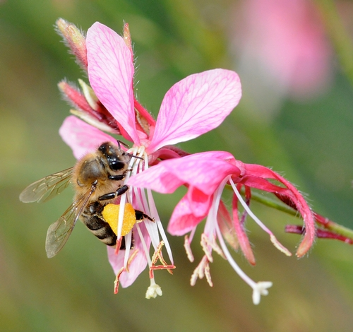 POLLEN-PACKING honey bee nectaring gaura. (Photo by Kathy Keatley Garvey)