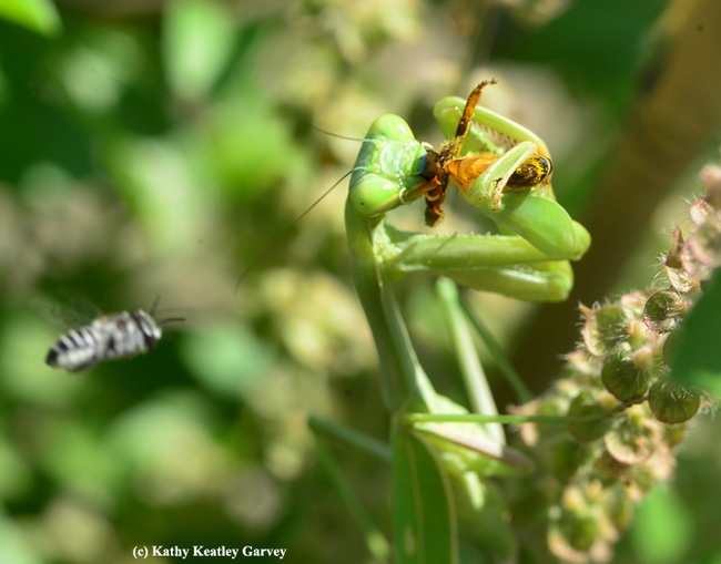The leafcutter bee targets the praying mantis. (Photo by Kathy Keatley Garvey)