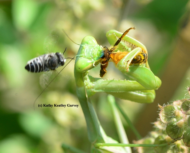The leafcutter bee nearly slams into the mantis. (Photo by Kathy Keatley Garvey)