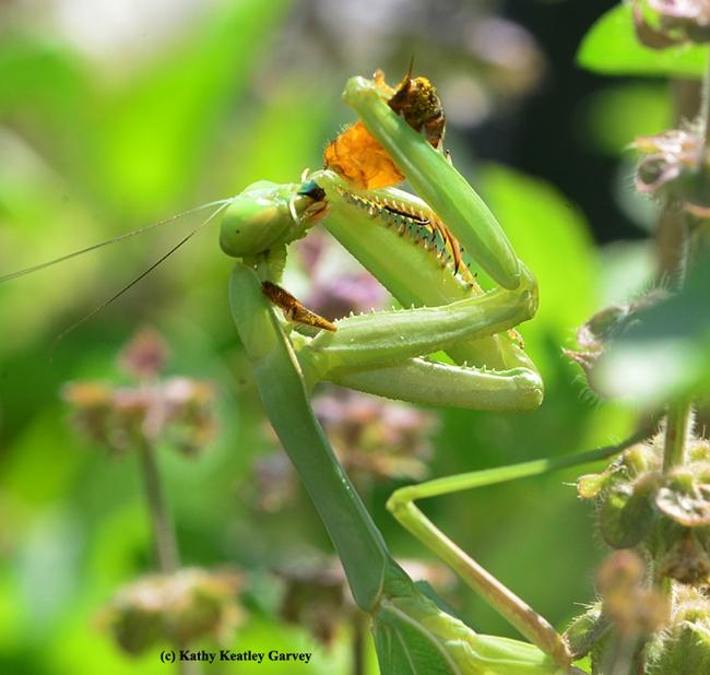 The praying mantis keeps eating. (Photo by Kathy Keatley Garvey)