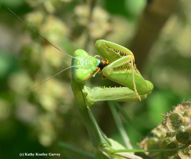 The praying mantis polishes off the last morsel. (Photo by Kathy Keatley Garvey)