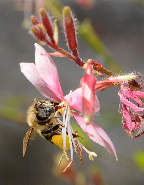 SIP, SIP, SIPPING AWAY--A honey bee nectaring gaura. (Photo by Kathy Keatley Garvey)