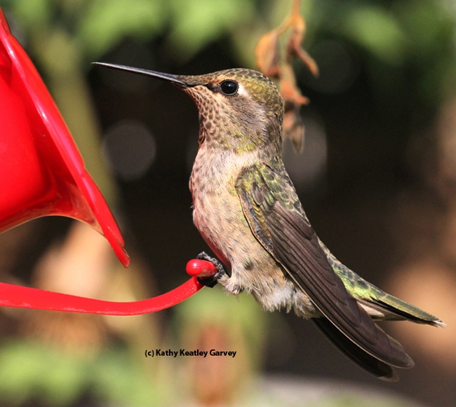A hummingbird pauses in between sips. (Photo by Kathy Keatley Garvey)