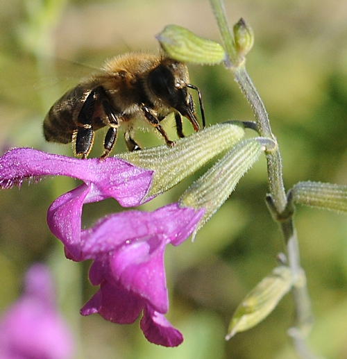 A HONEY BEE sips nectar from a corolla pierced by a carpenter bee. (Photo by Kathy Keatley Garvey)