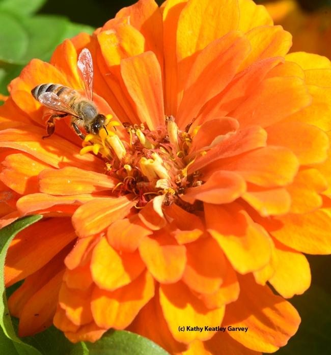 A honey bee foraging on a zinnia. (Photo by Kathy Keatley Garvey)