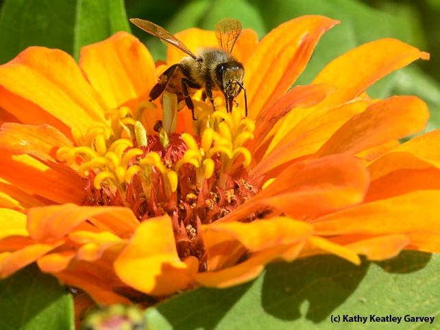 A sip of nectar from a zinnia. (Photo by Kathy Keatley Garvey)