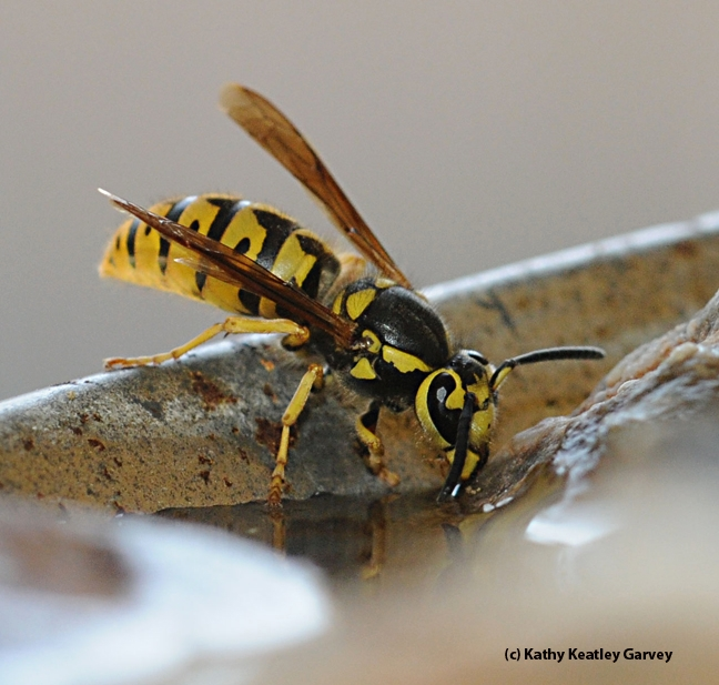 This is a Western yellowjacket, Vespula pensylvanic, which looks a lot like the wasp mimic, genus Ceriana. (Photo by Kathy Keatley Garvey)