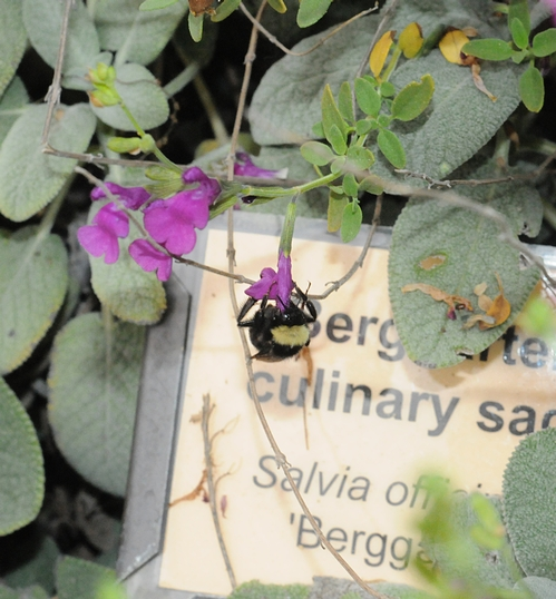 BLACK-FACED BUMBLE BEE, Bombus californicus, nectars salvia in the Storer Garden, UC Davis. This salvia is Salvia officinalis, cultivar Berggarten. (Photo by Kathy Keatley Garvey)