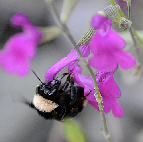 BUMBLE BEE extends her tongue to nectar a purple salvia or sage in the Storer Garden, UC Davis Arboretum. (Photo by Kathy Keatley Garvey)
