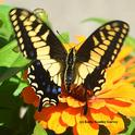 This Anise Swallowtail is missing part of its wing. A predator missed. (Photo by Kathy Keatley Garvey)