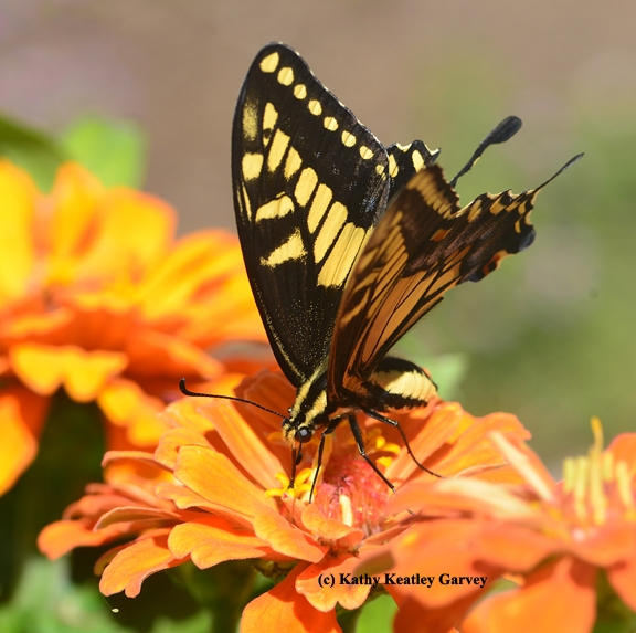 Anise Swallowtail nectaring on zinnia.  (Photo by K