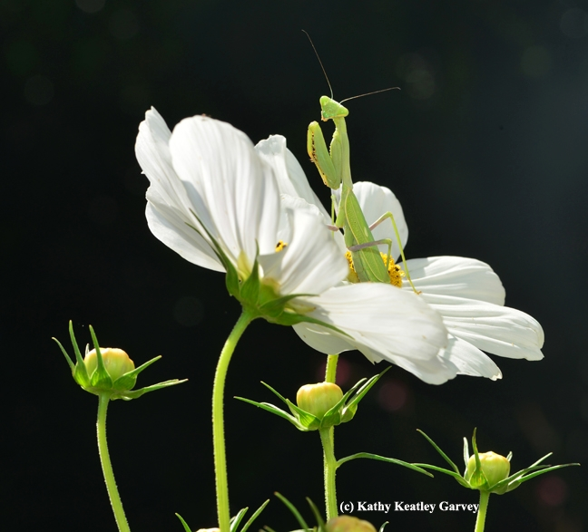 A praying mantis perches on a cosmos. (Photo by Kathy Keatley Garvey)