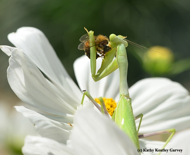 A strike! First prey is a honey bee. (Photo by Kathy Keatley Garvey)