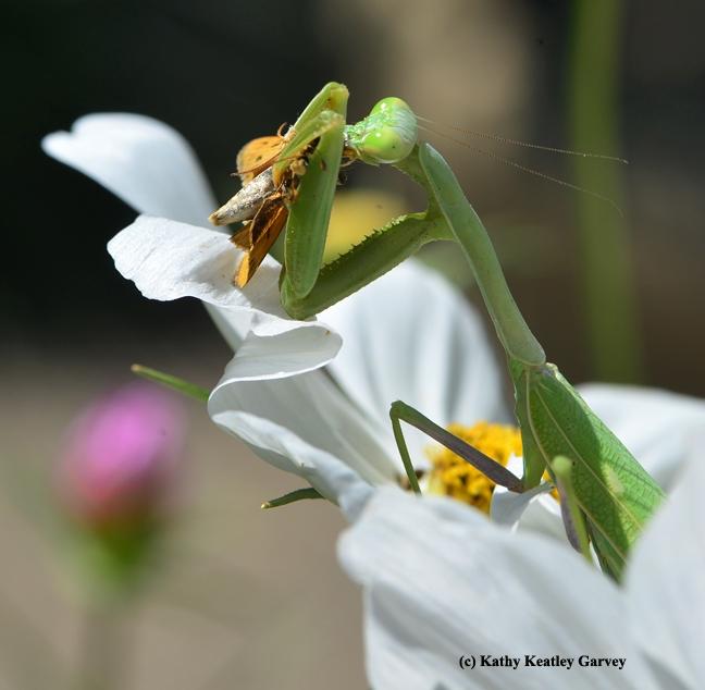 Second strike! A fiery skipper butterfly. (Photo by Kathy Keatley Garvey)
