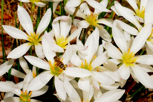 HONEY BEE, packing pollen, heads into a patch of Argentine rain lilies (Zephyranthes candida) in the White Garden, UC Davis Arboretum. (Photo by Kathy Keatley Garvey)