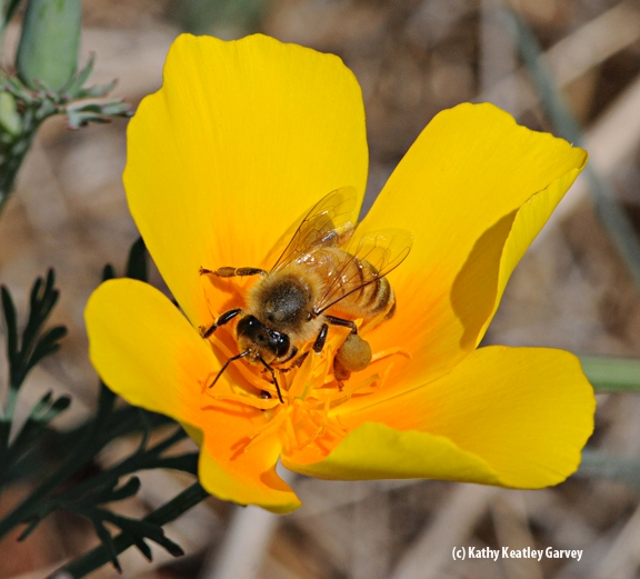 Honey bee on a California golden poppy. (Photo by Kathy Keatley Garvey)