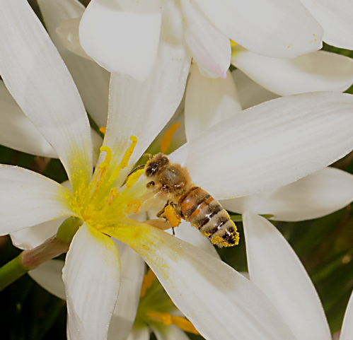 POLLEN-PACKING honey bee glides into an Argentine rain lily (Zephyranthes candida) in the White Garden, UC Davis Arboretum. (Photo by Kathy Keatley Garvey)