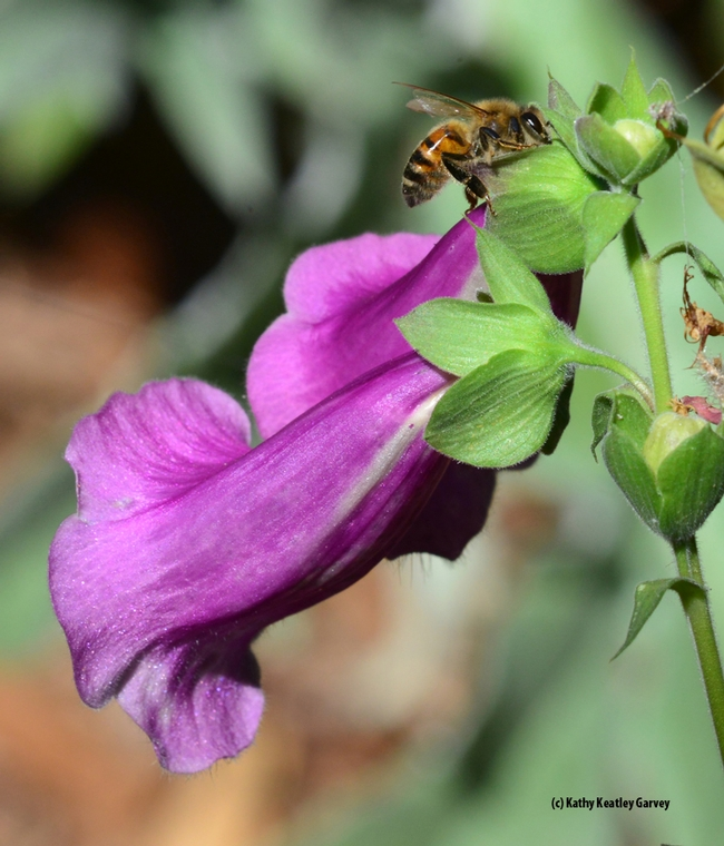 A honey bee sipping nectar from a hole drilled by a carpenter bee on a foxglove. (Photo by Kathy Keatley Garvey)