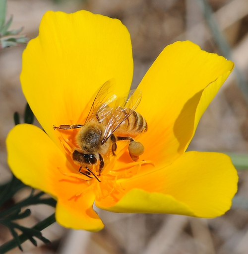CAMPUS BUZZWAY will be planted this fall with California poppies, coreopsis (tickseed) and lupine. Scenes like this--a honey bee nectaring a California poppy--will be common next spring. (Photo by Kathy Keatley Garvey)
