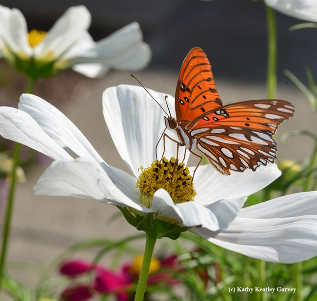 From a very hungry caterpillar to a magnificent butterfly. This Gulf Fritillary is nectaring on cosmos. (Photo by Kathy Keatley Garvey)