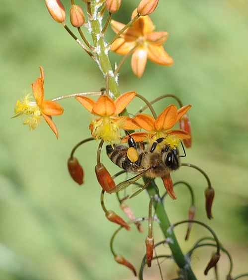 Honey Bee on Dwarf Tangerine Bulbine