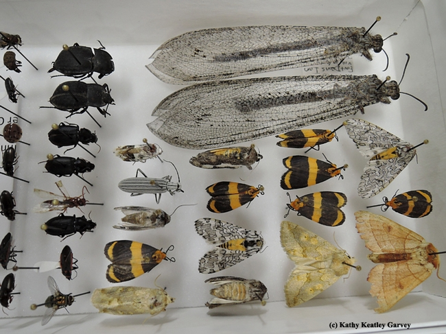 The Bohart Museum is home to nearly eight million insect specimens. (Photo by Kathy Keatley Garvey)