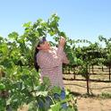 UC Davis graduate student Cindy Preto is studying vineyard leafhoppers. (Photo by Liam Swords)