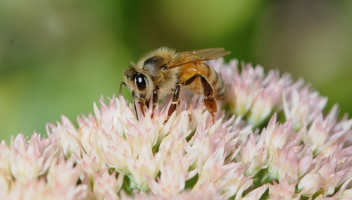 Honey Bee Nectaring Sedum