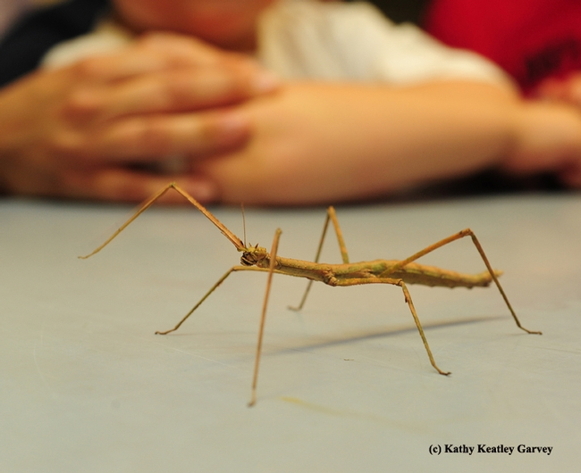 A walking stick is expected to be one of the Bohart Museum of Entomology attractions at Exploratorium Pier 15 on Oct. 2. (Photo by Kathy Keatley Garvey)