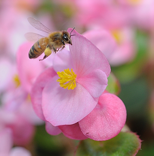 Honey Bee and Begonia
