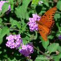 A Gulf Fritillary butterfly on purple lantana. (Photo by Kathy Keatley Garvey)