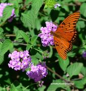 A Gulf Fritillary butterfly on purple lantana. (Photo by Kathy Keatley Garvey)