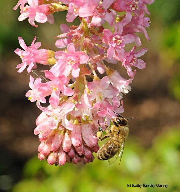 A honey bee on pink chaparral current. (Photo by Kathy Keatley Garvey)