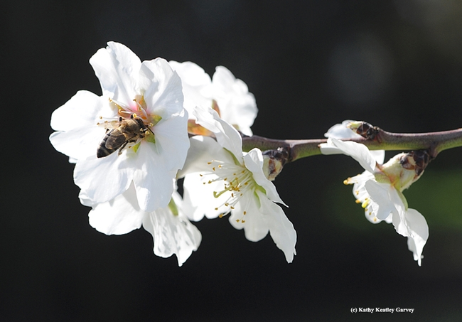 Honey bee pollinating an almond blossom. (Photo by Kathy Keatley Garvey