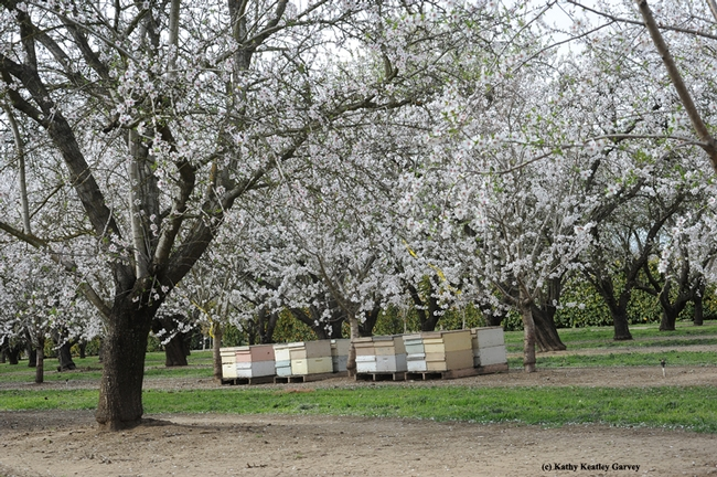 Almond orchard buzzing with bees. (Photo by Kathy Keatley Garvey)