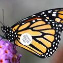 Close-up of a tagged Monarch butterfly. (Photo by David James, entomologist at Washington State University, Pullman, Wash.)
