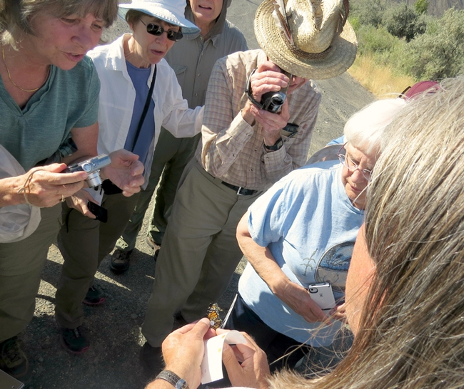 Entomologist David James demonstrates how to tag a Monarch. This image was taken at a meeting of the Washington Butterfly Association at a Monarch breeding site near Vantage in central Washington on Aug. 23 2014.