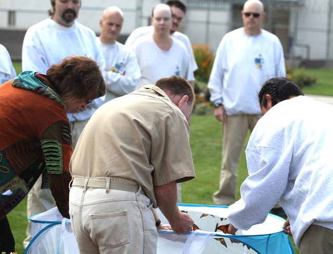 Inmates at the Washington State Penitentiary, Walla Walla, rear most of the Monarchs. The photo, taken during a WSU Media Day, shows the  release of the butterflies. (Photo by David James)