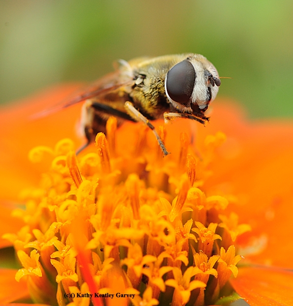Drone fly, Eristalis tenax, sipping nectar from a Mexican sunflower, Tithonia. (Photo by Kathy Keatley Garvey)