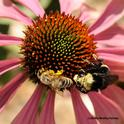 A honey bee and yellow-faced bumble bee, Bombus vosnesenski, share a coneflower. (Photo by Kathy Keatley Garvey)