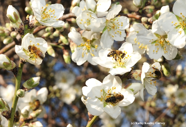 Honey bees pollinating almonds.  (Photo by Kathy Keatley Garvey)