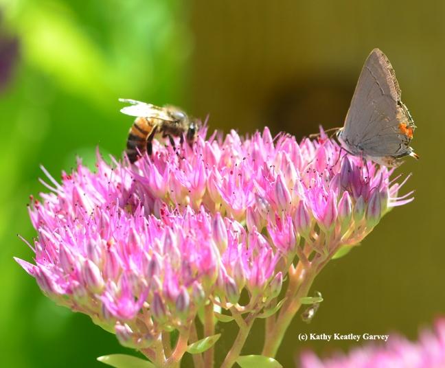 Honey bee sharing a sedum blossom with a Gray Hairstreak. (Photo by Kathy Keatley Garvey)