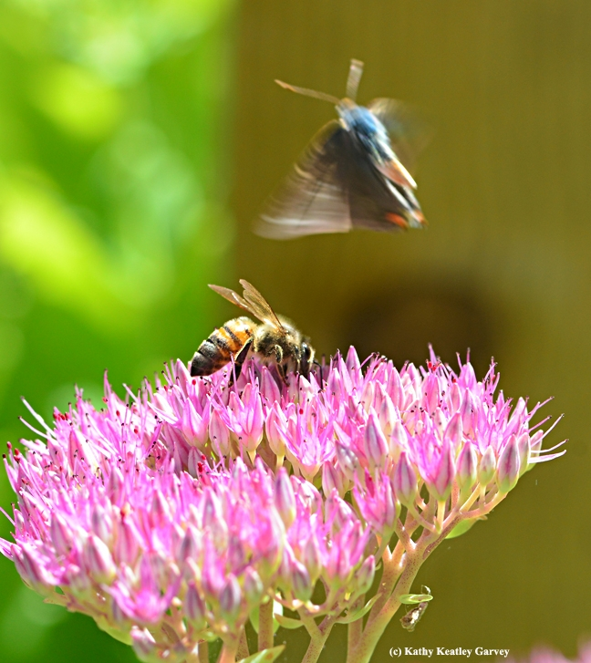 Too close for comfort. The Gray Hairstreak takes off. (Photo by Kathy Keatley Garvey)