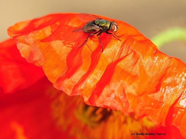 A green bottle fly soaking up sunshine. (Photo by Kathy Keatley Garvey)