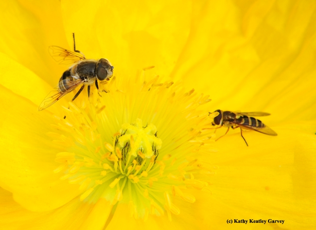 Two syrphids sharing an Iceland Poppy. (Photo by Kathy Keatley Garvey)