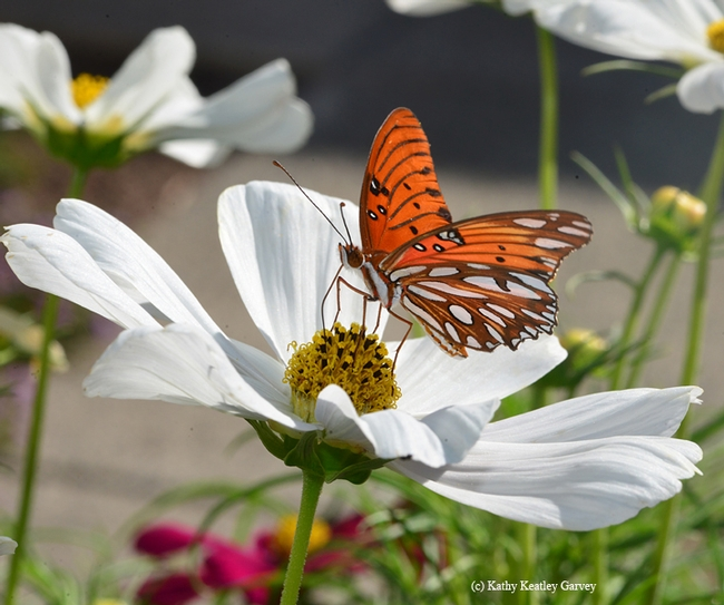 Gulf Fritillary butterfly on Cosmos. One myth is that if you rub the scales off their wings (who would want to?), they can't fly. (Photo by Kathy Keatley Garvey)